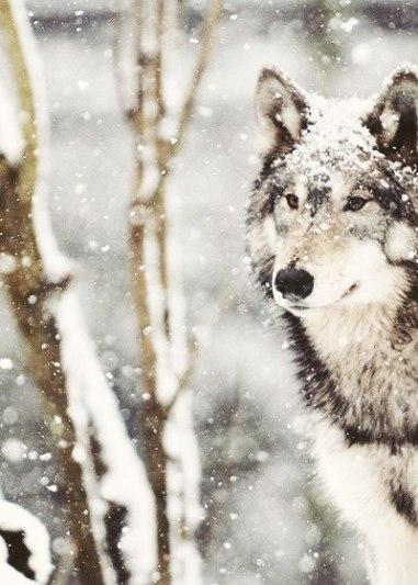 PAROTISE WOLF